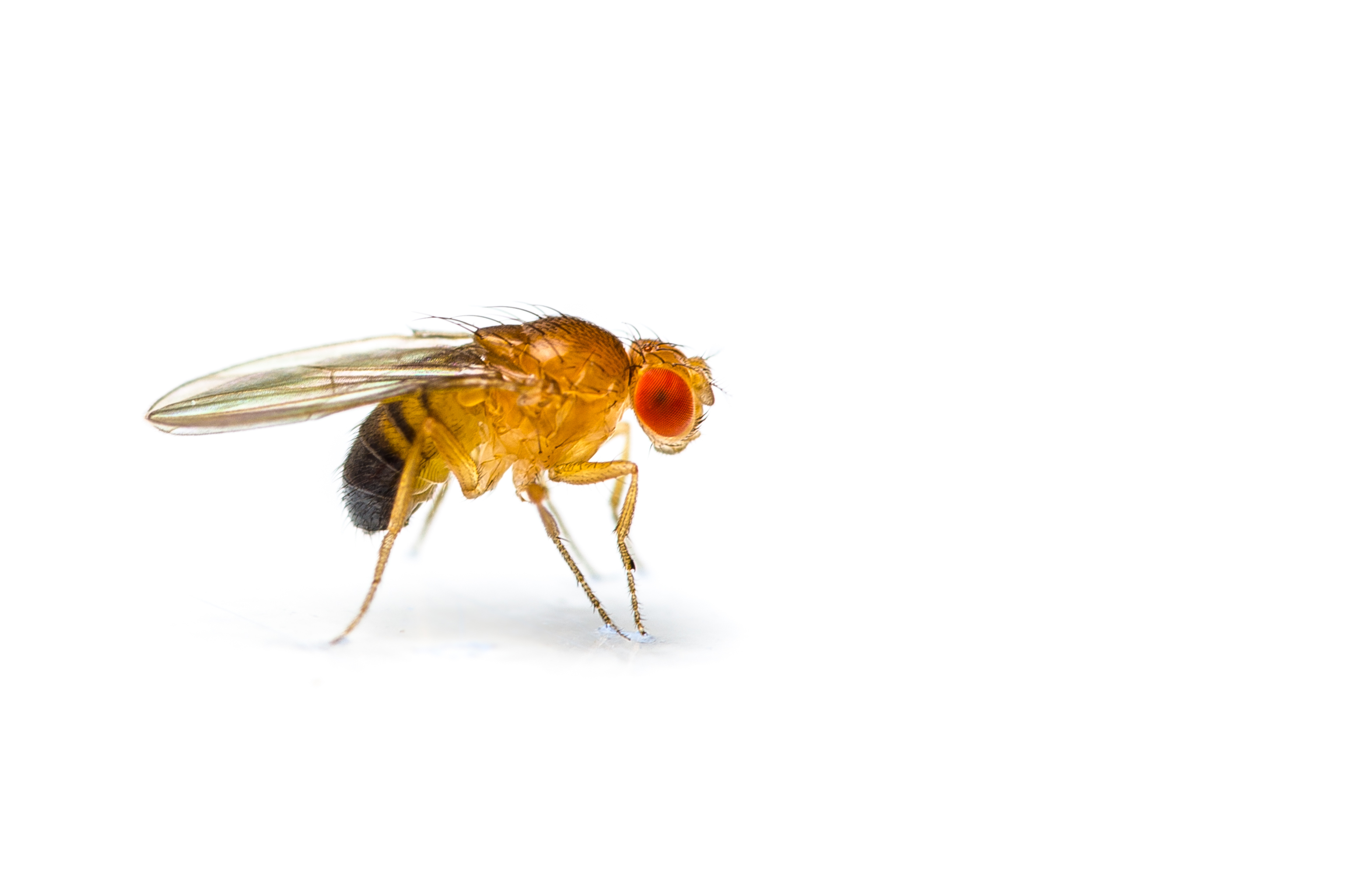 Paralyzable Drosophila (fruit fly)