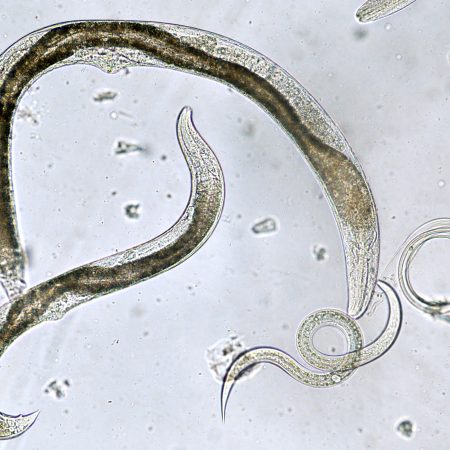 Mutant C. Elegans (worms)